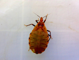 bitpanstrogylus-geniculatus-vnymph